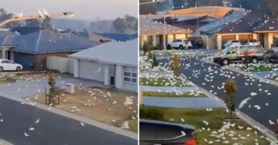 Suburb looks like scene from a Hitchcock movie as Corellas take over