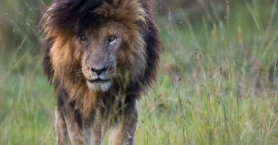 Most famous lion in the world dies of natural causes in Kenya